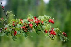 Der Wald gießt mit bunten Beeren aus Lizenzfreie Stockfotografie