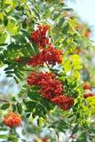 Der Wald gießt mit bunten Beeren aus Lizenzfreie Stockbilder