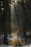 Der Wald mit nebeligem und hellem Stockfotografie