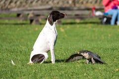 Der Wanderfalke, Falco-peregrinus Die schnellsten Tiere in der Welt stockfotos
