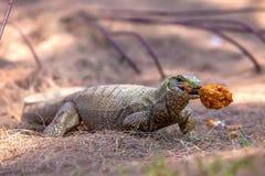 Der Warane Varanus isst geröstetes Huhn im Teig stockbilder