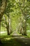 Der Weg im Park zwischen Birken Lizenzfreie Stockbilder