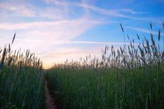 Der Weg unter den Ohren des Weizens im Abendsonnenuntergang Stockbilder