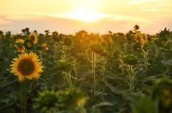 Der Weg zwischen den Feldern unter dem Sonnenuntergang Lizenzfreies Stockbild