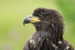 Der Weiß angebundene Adler Lizenzfreies Stockfoto