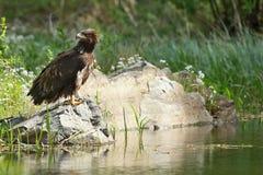 Der Weiß angebundene Adler Lizenzfreie Stockfotos