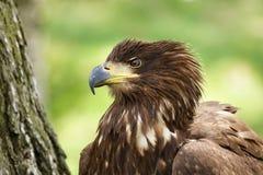 Der Weiß angebundene Adler Stockbild
