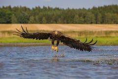 Der Weiß-angebundene Adler stockbild