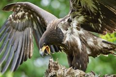 Der Weiß angebundene Adler im Flug Lizenzfreie Stockbilder