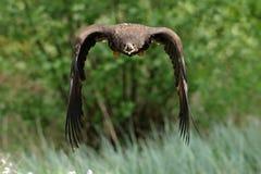 Der Weiß angebundene Adler im Flug Stockfotografie