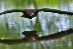 Der Weiß angebundene Adler im Flug Lizenzfreie Stockfotos