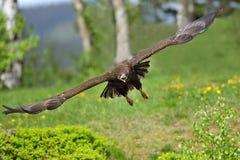 Der Weiß angebundene Adler im Flug Stockbild