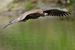 Der Weiß angebundene Adler im Flug Lizenzfreies Stockbild