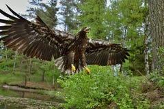 Der Weiß angebundene Adler im Flug Stockfotos