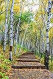 Der weiße Birken-Wald- und Holzweg Lizenzfreie Stockfotos