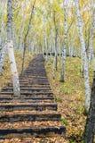 Der weiße Birken-Wald- und Holzweg Stockfoto