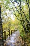 Der weiße Birken-Wald- und Holzweg Stockbilder