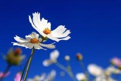 der weiße Calliopsis Stockbild