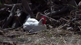 Der weiße Hahn mit den Hühnern im Hof, die Tiere durchstreifen im Hof stock footage