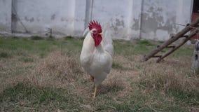Der weiße Hahn mit den Hühnern im Hof, die Tiere durchstreifen im Hof stock video
