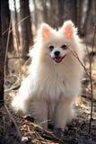 Der weiße Hund, den ein Spitzhund im Holz sitzt Stockfoto