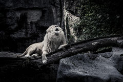 Der weiße Löwe stockfoto