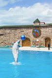 Der weiße Lat Delphinapterus leucas ist ein Zahnwal des Familie naranovich - springend über das Wasser zur Show beim Adler D Stockfoto
