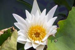 Der weiße Lotos bedeutet Sauberkeit im Verstand Stockbild