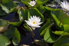 Der weiße Lotos bedeutet Sauberkeit im Verstand Stockfotos