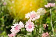 der weiße Schmetterling ist die blühende rosa Garten-Kornblume, Cent Stockfotografie