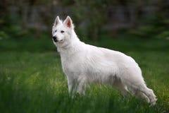 Der weiße Schweizer Schäferhund, der in der Front außen ist im hohen Gras auf der neutralen Person steht, verwischte Hintergrund Stockfoto