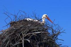 Der weiße Storch auf dem Nest Lizenzfreie Stockbilder