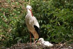 Der weiße Storch in einem Nest mit einem Schätzchenvogel Stockfotos