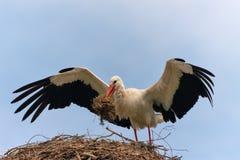 Der weiße Storch mit großen offenen Flügeln Stockfotos