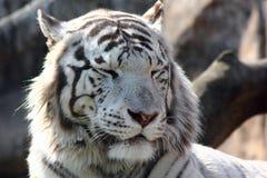 Der weiße Tiger. Stockfotos