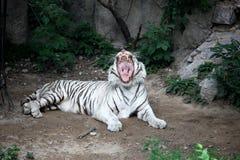Der weiße Tiger Stockbild