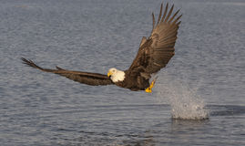 Der Weißkopfseeadler, der nahe anziehenden Fischen des Wassers mit Wasser fliegt, spritzen herein Stockbild