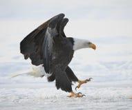 Der Weißkopfseeadler gelandet Lizenzfreie Stockbilder