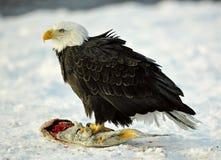 Der Weißkopfseeadler (Haliaeetus leucocephalus) sitzt auf Schnee und isst einen Lachsfisch Lizenzfreies Stockbild