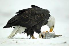 Der Weißkopfseeadler (Haliaeetus leucocephalus) sitzt auf Schnee und isst einen Lachsfisch Lizenzfreie Stockbilder
