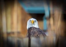 Der Weißkopfseeadler, Symbol der Freiheit und die USA Lizenzfreies Stockbild