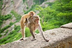 Der weibliche Affe führt ihre Rückseite des Babys fort Galta-Tempel in Jaipur, Indien Lizenzfreies Stockfoto