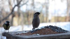 Der weibliche Dompfaff, der kleine Vögel von den Zufuhren jagt stock video