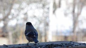 Der weibliche Dompfaff, der Sonnenblumensamen in der Vogelzufuhr isst stock video