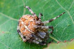 Der weibliche Spinne Araneus Lizenzfreie Stockfotos