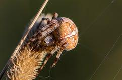 Der weibliche Spinne Araneus Stockbild