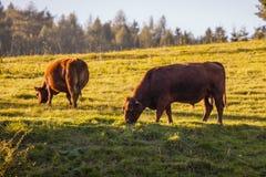 Der Weide de forces d'appoint de Rinder Photos libres de droits