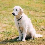 Der weiße erwachsene Hund Labrador retrievers, der auf getrimmtem sonnigem sitzt Stockfotografie