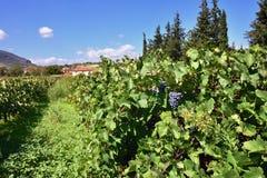 Der Weinberg in Nemea-Region, Griechenland Lizenzfreies Stockfoto