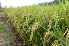 Der Weizen Stockfoto